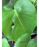 1 PHILODENDRON MONSTERA Split Leaf Plant - Shipped Bare Root 10-17in - $59.99