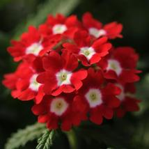 150 Verbena Seeds Quartz XP Red With Eye Flower Seeds - Garden & Outdoor Living - $49.99