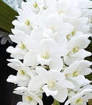 Three Plant Set! Rhynchostylis gigantea RED, WHITE & ORANGE Species Orchid Plant image 6