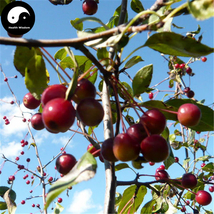 Buy Malus Fruit Tree Seeds 120pcs Plant Malus Baccata For Wild Fruit Malus - $9.99