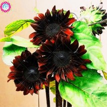 40pcs dwarf sunflower ,white sunflower Mixed color rare indoor flower, Black Red - $2.99