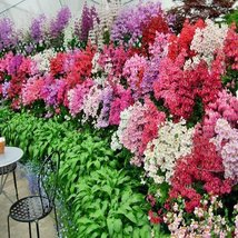 Butterfly Flower Angels Wings Schizanthus Mixed Colors 100 Seeds - $6.93