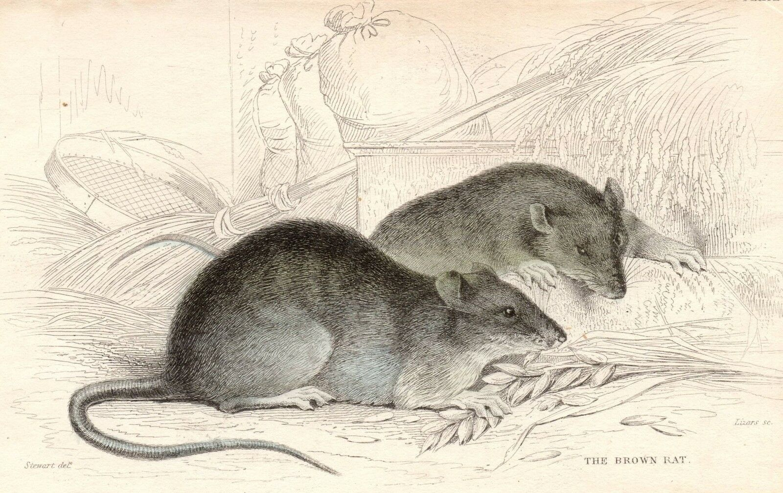 Primary image for c1833 HAND COLOURED GEORGIAN PRINT ~ THE BROWN RAT