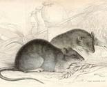 c1833 HAND COLOURED GEORGIAN PRINT ~ THE BROWN RAT