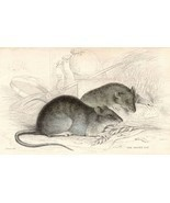 c1833 HAND COLOURED GEORGIAN PRINT ~ THE BROWN RAT - $30.04