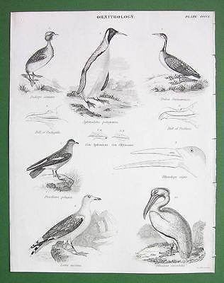 BIRDS Ornithology Grebe Gull Pelican Beaks - 1842 Engraving Print