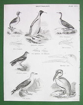 BIRDS Ornithology Grebe Gull Pelican Beaks - 1842 Engraving Print - $13.05