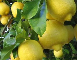 20 pcs Giant Lemon Yellow Fruit Tree Seeds Very Delicious - $14.85