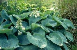 5 Seeds of Hosta Sieboldiana Elegans Huge Leaves - $16.83