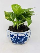 Golden Devil's Ivy Pothos Porcelaine Indented Corner Pot - $28.41