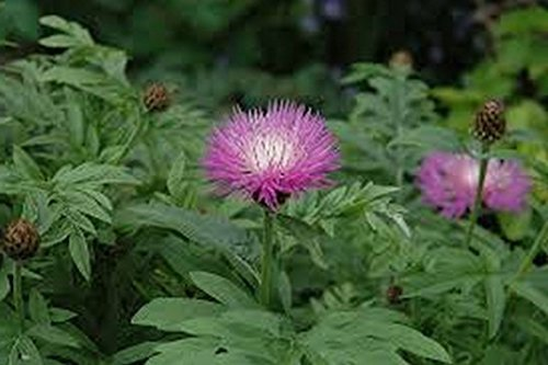 Primary image for 25 Cornflower (Dealbata) Seeds