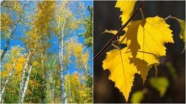 Paper Birch Tree (1-2') - Home Garden Outdoor Living - $71.99