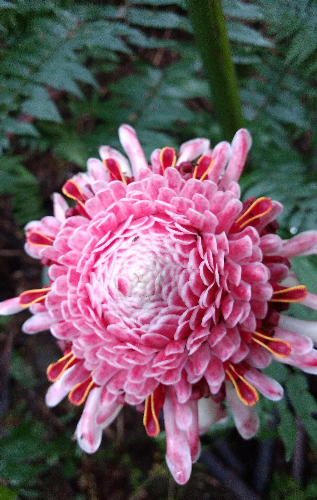 Rare Etlingera elatior Pink Torch Ginger Large Plant Rhizome tropical flower image 3