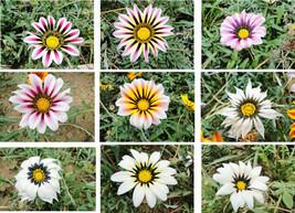 Gazania seeds, gazania potted seed, gazania flower seed, variety complete - $4.76