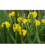 10 Seeds Non GMO - Majestic Yellow Flag Iris - Pond Side Iris Psuedocorus - $7.99
