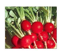 Champion Radish Seeds ---Fresh Garden 100Seeds - $7.68
