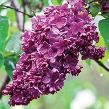 RED French Lilac CONGO syringa vulgaris changes color 100 seeds - $26.99