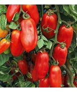 SHIP From US, 50 Seeds San Marzano Redorta Tomato, DIY Healthy Vegetable AM - $33.99