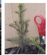 1 Douglas Fir (Pseudotsuga) Hefty 8+inch, Fast Growing Evergreen, Christ... - $18.95