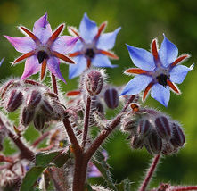 30 Borage Seeds Borago Officinalis Boraginaceae Herb Organic Home and Garden - $5.09
