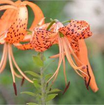 HAPPY FLOWER 2 Bulbs BLEARJOSARI True Lily Bulbs Perfume Flower High ger... - $2.99