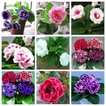 100 Seeds 9 Colors Can Be Choose Gloxinia Perennial Flowering Plants Sin... - ₹283.74 INR