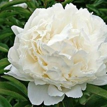 SHIP FROM USA Peony Cream Flower Seeds (Papaver Paeoniflorum) 100+Seeds UDS - $23.92