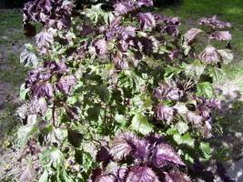 100 Purple Shiso Seeds Japanese Basil - $1.79
