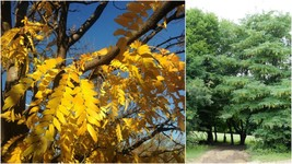 Honeylocust Tree (2-3') - Home Garden Outdoor Living - $77.99