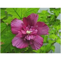 Rose of Sharon– Dusty Rose Althea - 1 Gallon Potted - 1 Plant - Beautifu... - $86.00