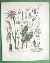 MEDICINAL PLANTS Salsify Skeletonweed Lettuce - 1837 H/C Color Botanical... - $13.77