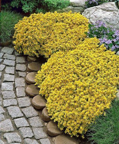 1000 Sedum Acre - Golden Carpet, Yellow Stonecrop ground cover Flower Seeds-
