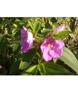 Pink Glory Bush Lasiandra Butterfly Bees starter plant - $5.25
