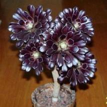 Succulent Seeds Aeonium 'Zwartkop' Seeds Bonsai Flower Seeds Garden IL - $1.99
