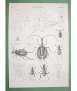 BEETLES Coleoptera Carabus Tiger Beetle - 1878 Antique Engraving Print - $6.89