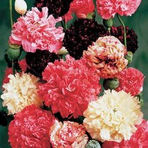 2000 Seeds of Poppy Peony Double Mixed Papaver - $12.87