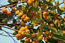 Nancy Tree Seeds (Byrsonima crassifolia) Golden Spoon, Nance, Maricao c... - $2.48+