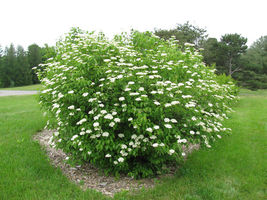 Chicago Lustre viburnum shrub image 7