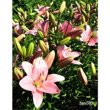 5 Bulbs of Lily Asiatic Pink - $37.62