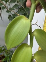 "Vanilla planifolia Orchid Plant Species 24"" Cutting Rooted And Ready To Grow ### image 5"