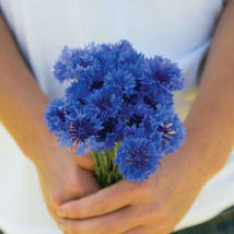 Florist Blue Boy Centaurea Seed /  Centaurea Flower Seeds - $12.00