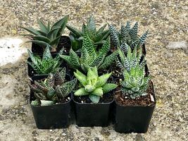 """Assorted Rooted Premium Aloe and Haworthia Succulents in 2"""" Planter Pots with image 3"""