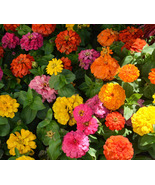 Easy to Grow - Mix Giant Zinnia - California Blend - 100 Flower Seeds - $3.99