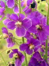 SHIP FROM US 50 VIOLETTA VERBASCUM Phoeniceum Purple Mullein Nectar Seed... - $12.00