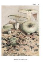 W. Hamilton Gibson: Russula Virescens - Harper Publishers - 1895 - $12.82+