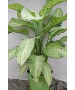 Dumb Cane aka Dieffenbachia Camouflage Premium Foliage Live Plant Fit 8'... - $9.89