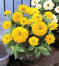 50 Zinnia Dreamland Yellow Flower Seeds - $19.45