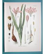 WILD SAFFRON Flower Colchicum Autumnale - Beautiful COLOR Botanical Print - $28.69