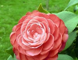 50pcs Very Beautiful Light Fragrant 'Garnet' Rose Bonsai Flowers IMA1 - $15.95