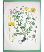 YELLOW TORMENTIL Flower Potentilla Tormentilla - COLOR Litho Botanical P... - $19.09